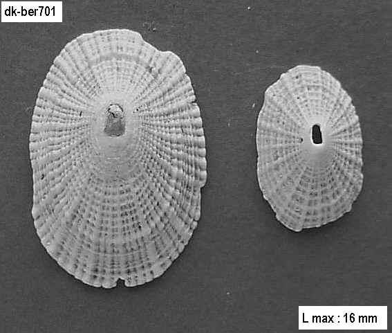 fissurella and co Ber70110