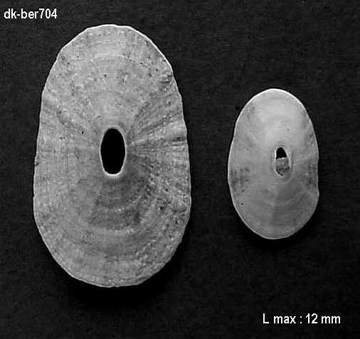fissurella and co Ber70410