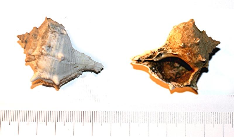[résolu]Bolinus act. ou fossile? Bolinus brandaris (Linnaeus, 1758) Iiiiii10