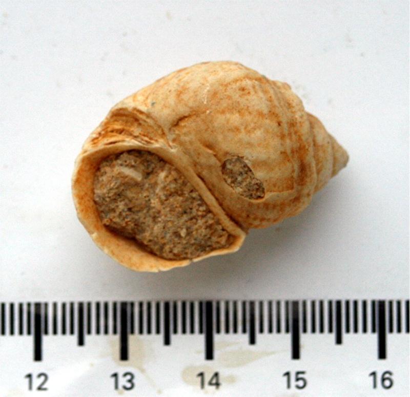 Microschiza clathrata (Deshayes) Micros11