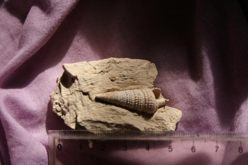 [résolu]Tympanotonos labyrinthus (Nyst) Img_4036