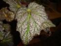 Begonia 'Thrush' (rhizomateux) Dsc00321