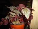 Begonia 'Thrush' (rhizomateux) Dsc00322