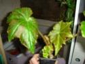 Begonia 'Gerbe Rose' (rhizomateux) Gerbe_10