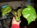Begonia 'Gerbe Rose' (rhizomateux) Gerbe_12