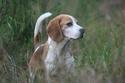 http://i10.servimg.com/u/f10/10/05/57/32/th/beagle10.jpg