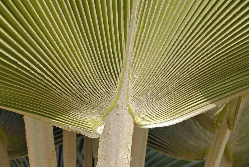Palmiers à déterminer [Borassus aethiopium] _dsc0510
