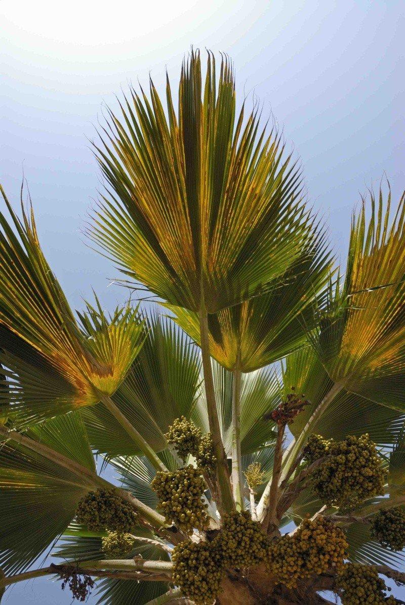 Palmiers à déterminer [Borassus aethiopium] _dsc0610