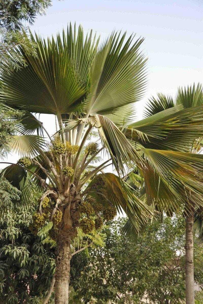 Palmiers à déterminer [Borassus aethiopium] _dsc0710