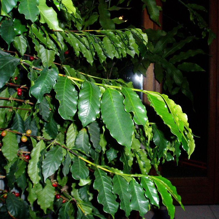 Tache brune sur feuille de coffea arabica Feuill11