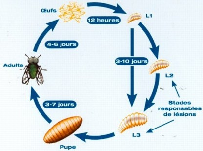 Besoin d'information sur Calliphora Cycle-10