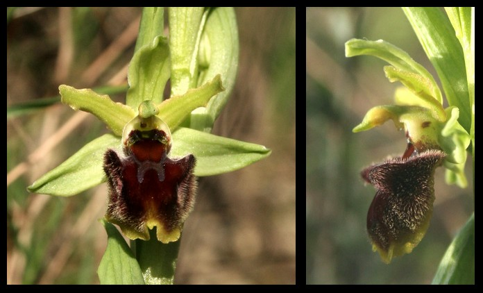 Ophrys massiliensis 2007-011