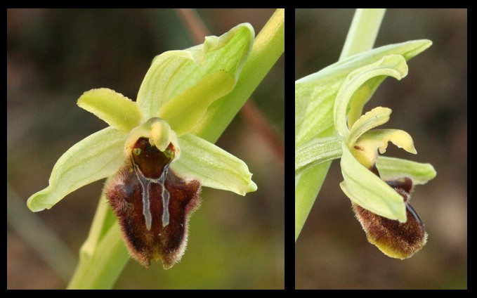 Ophrys massiliensis 2007-013