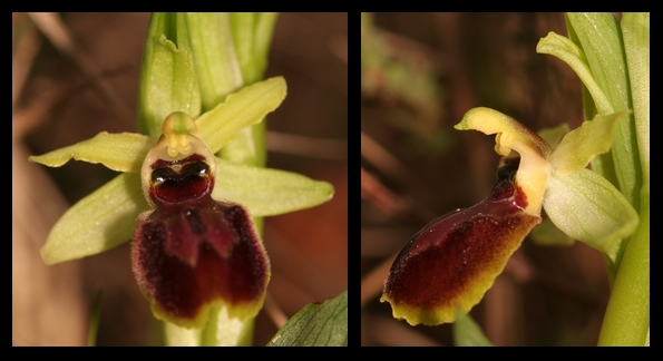 Ophrys exaltata marzuola (Ophrys de Mars ) Occide10