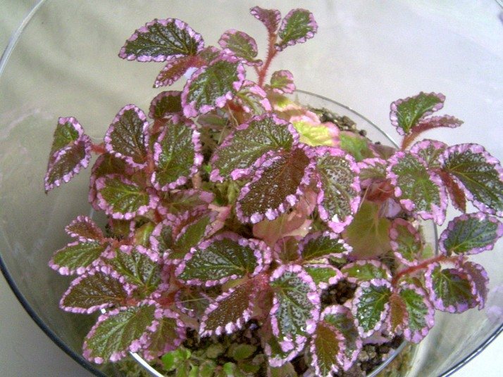 B. U012 [Begonia symbegonia U012] Begoni10