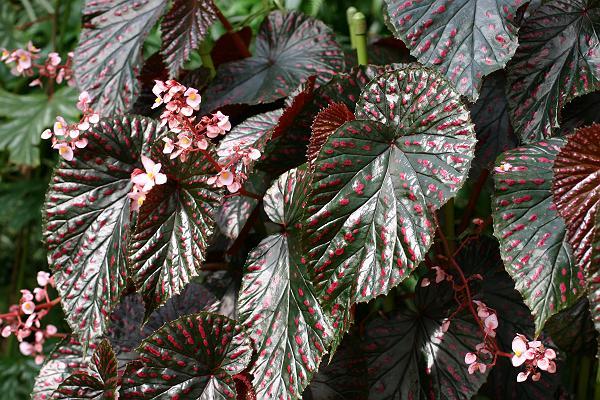 Begonia brevirimosa - Page 2 Begoni14