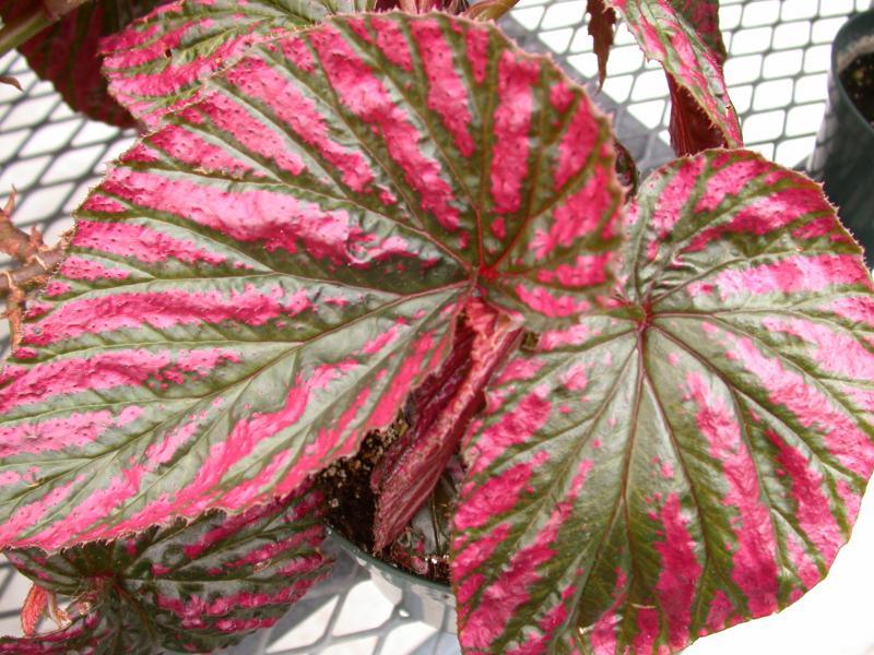 Begonia brevirimosa - Page 2 Begoni15