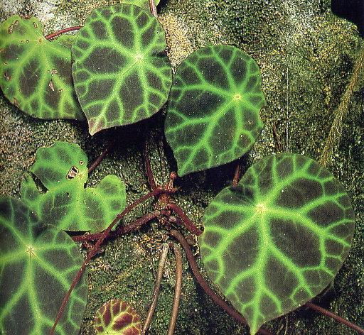 Begonia kingiana (rampant) Begoni16