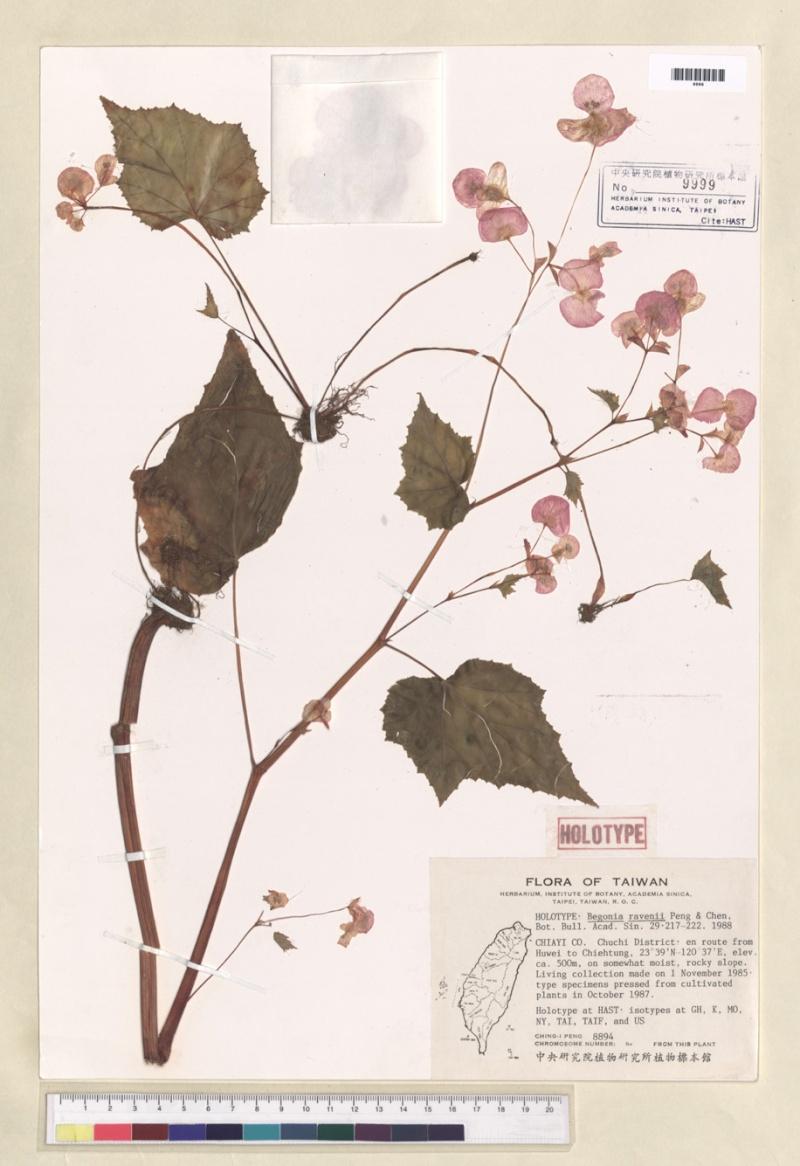 Begonia  mais...............[Begonia chitoensis]. Begoni21