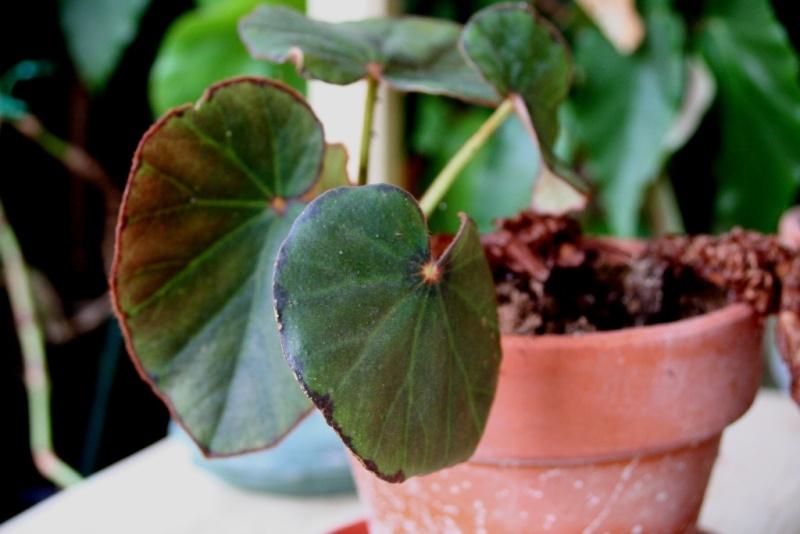 Begonia lyman smithii (rhizomateux) Img_0610