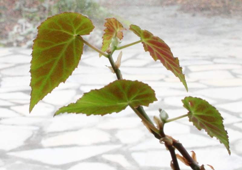 Begonia humbertii (buissonnant) Img_0910
