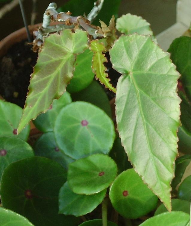 Begonia humbertii (buissonnant) Imgp2011