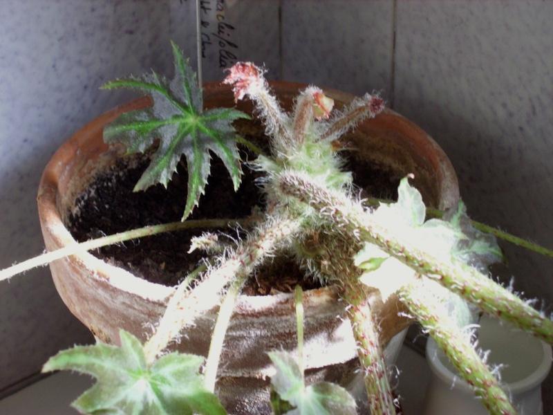 Begonia heracleifolia (rhizomateux)* Imgp2212