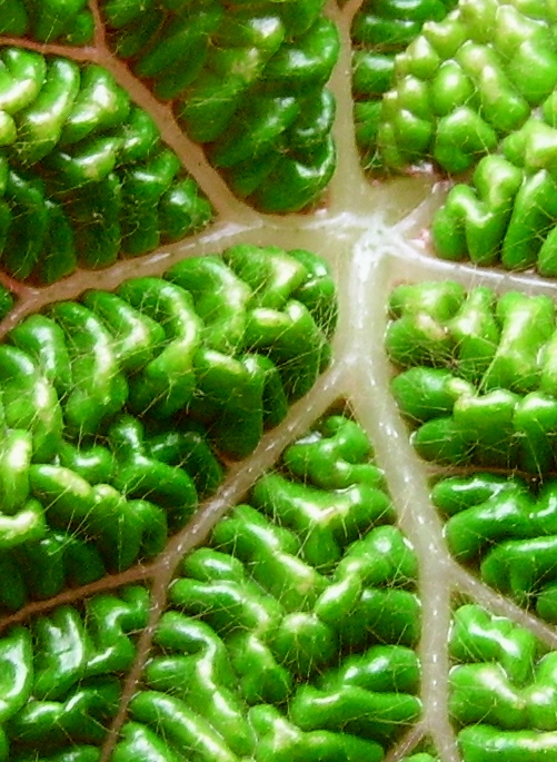 Begonia gehrtii (rhizomateux) Imgp2216