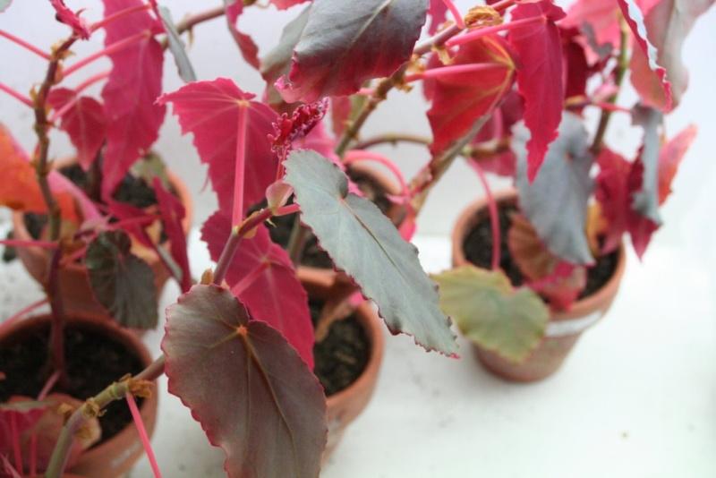 Begonia humbertii (buissonnant) Photo_10