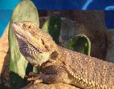 Reptiles en captivits Dragon barbu