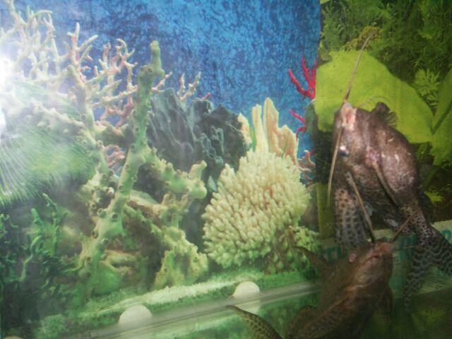 quels sont vos poissons de fond - LES AUTRES CICHLIDES ET