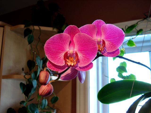 Floraisons - Janvier Phalae10