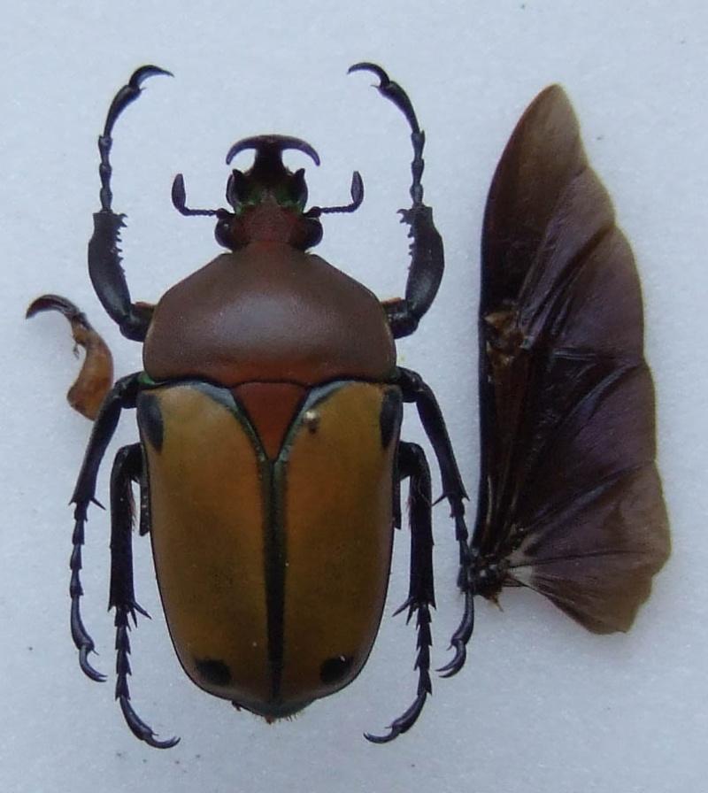 [Eudicella immaculata quadrimaculata] Eudicella Eudice13