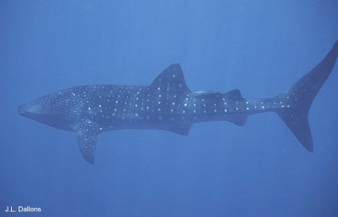 Un Requin ?? Requin11