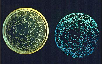 Bioluminescence Vibrio10