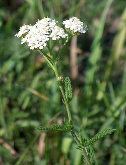 Achillée Millefeuille, Achillea millefolium 250px-14