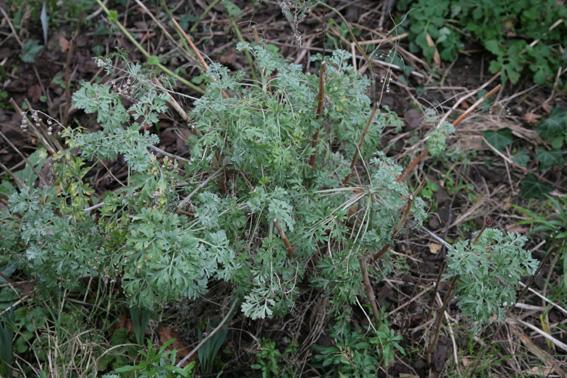 Absinthe, Artemisia absinthium Absint10