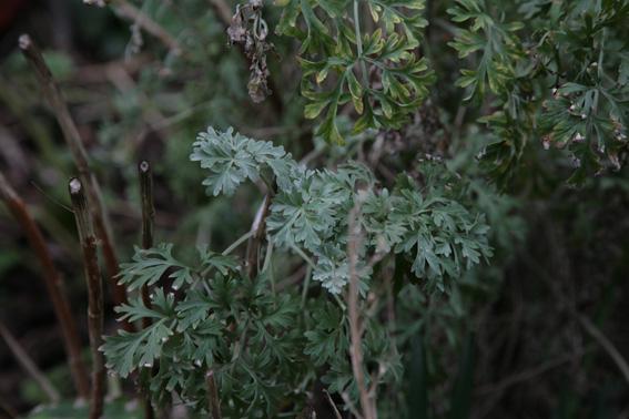 Absinthe, Artemisia absinthium Absint11