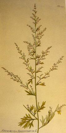 Absinthe, Artemisia absinthium Absint12