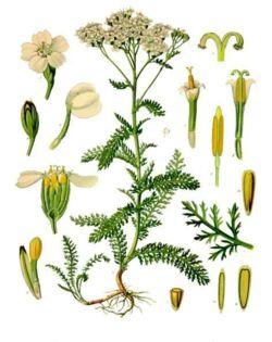 Achillée Millefeuille, Achillea millefolium Achill10