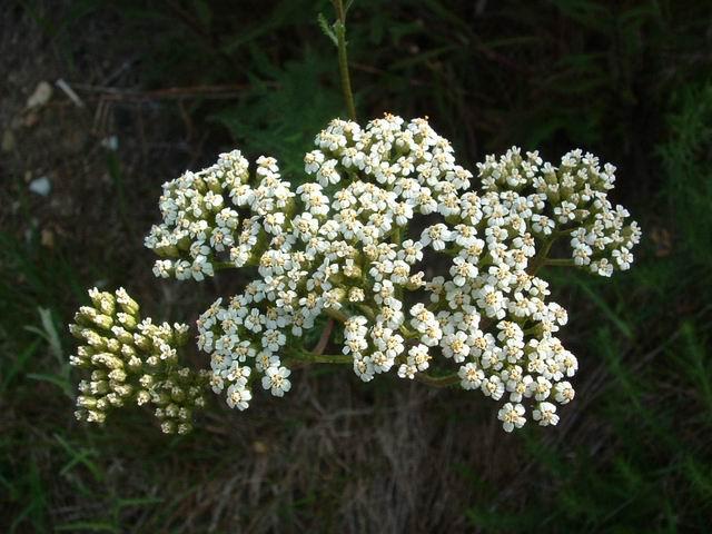 Achillée Millefeuille, Achillea millefolium Achill11