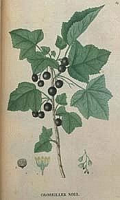 Cassis, Ribes nigrum Cassis11