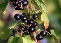 Cassis, Ribes nigrum Cassis12