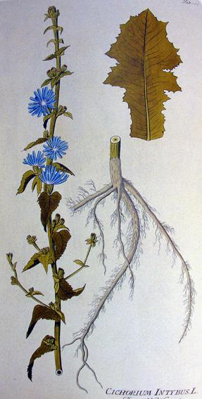 Chicorée sauvage, Cichorium intybus Chicor10