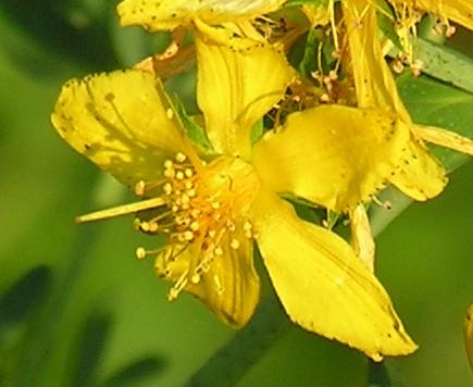 Millepertuis, Hypericum perforatum Fleurm10