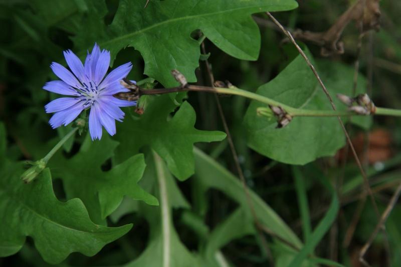 Chicorée sauvage, Cichorium intybus Img_1610
