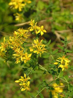 Millepertuis, Hypericum perforatum Millep10
