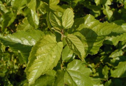 Mûrier, Morus nigra Morus10