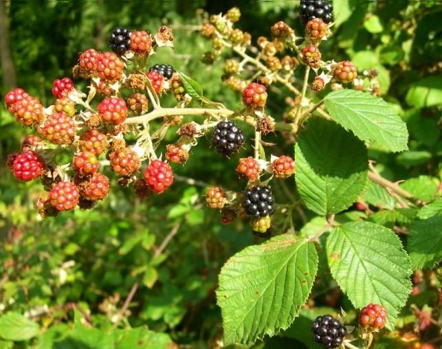 Ronce, Rubus fruticosus Mures10