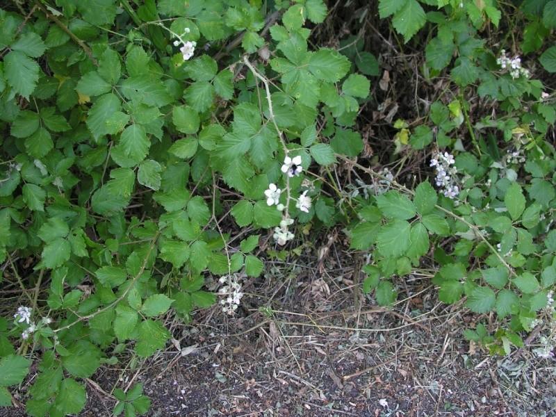 Ronce, Rubus fruticosus Murier11